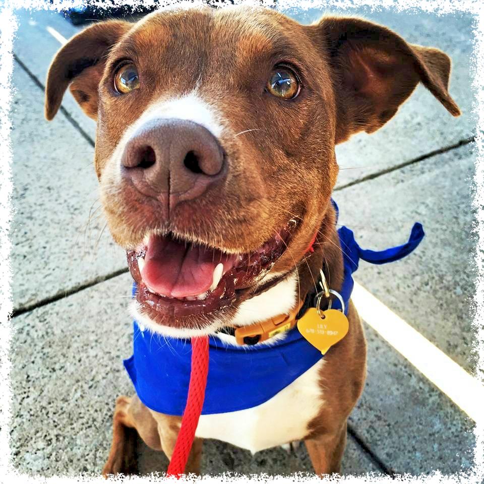 FTTF Adopt-a-Bull Lily at adoptions.