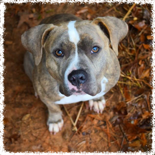 FTTF Adopt-a-Bull Sweet Pea